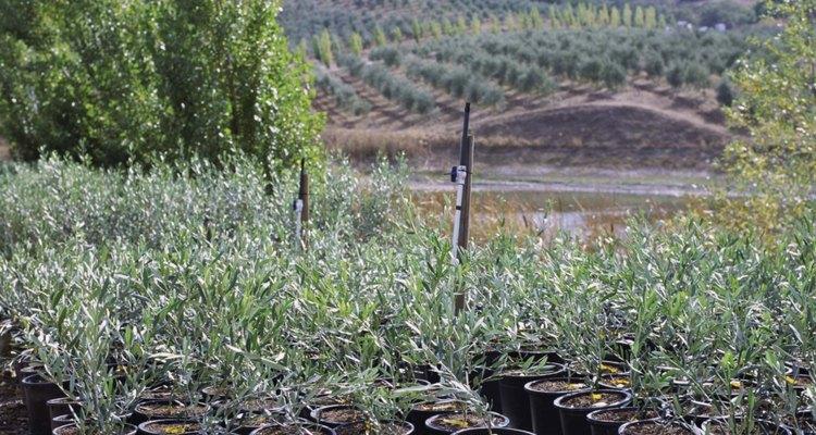 Las topiarias de olivo comienzan con árboles jóvenes en sus macetas de vivero.