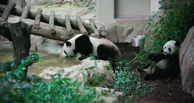 Pandas en un zoológico