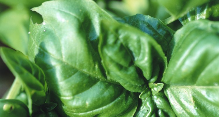 Fresh basil is a main ingredient in pesto.