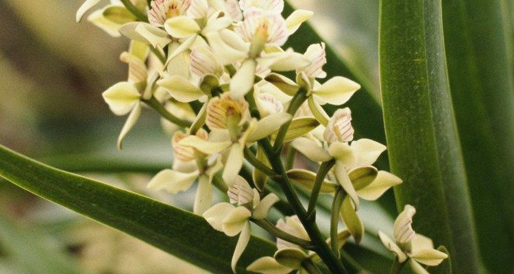 Anatomia de uma orquídea: flores, haste e folhas