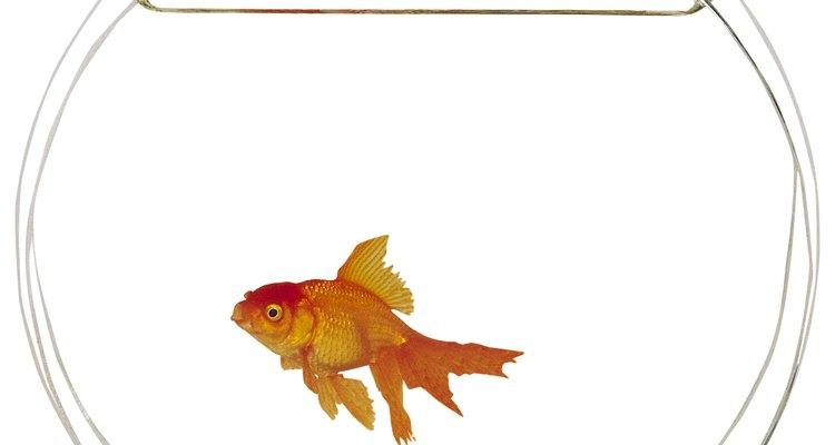 El pez Betta, también conocido como pez luchador siamés, es una criatura solitaria que prefiere vivir sola.