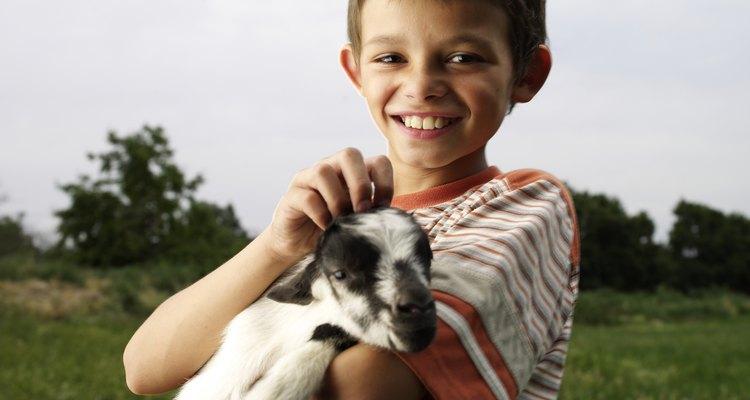 Filhotes de cabra sem a mãe podem se tornar adultos saudáveis