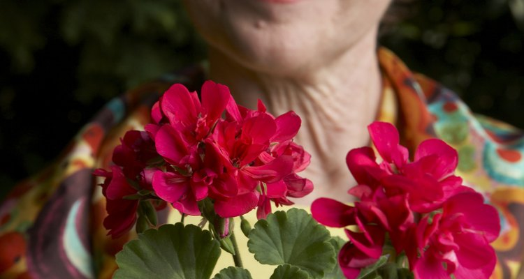 Geraniums are easy to grow, but they thrive if kept above minimum temperatures.