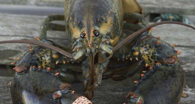 Os lagostins não são os animais mais fáceis do mundo se determinar o sexo, pois as diferenças de gênero são bastante sutis