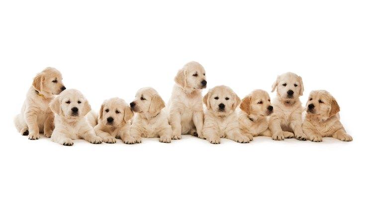 Los perros por lo general no tienen problemas para parir una camada, pero debes saber cómo ayudar a la madre.