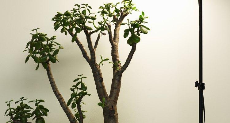 Puedes plantar un árbol de jade en el interior.