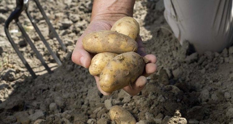 Desentierra las patatas durante o después de que las flores aparezcan.
