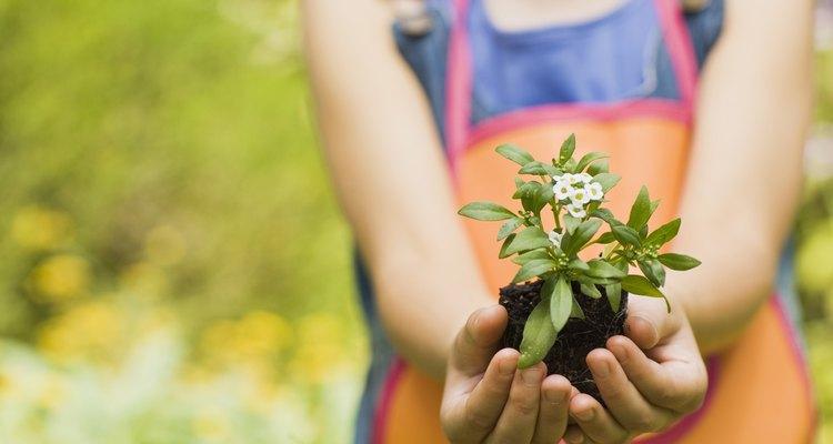 Las Monocotyledonae y las Dicotyledonae son dos tipos diferentes de plantas con flores, llamadas monocotiledóneas y dicotiledóneas, para abreviar.