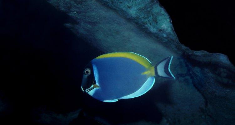 El pez cirujano azul es fácil de identificar gracias a su cuerpo de color azul brillante y circular.