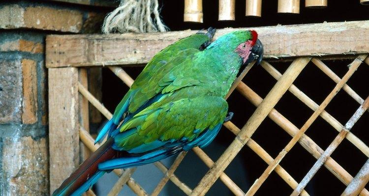 Alguns papagaios regurgitam como demonstração de afeição