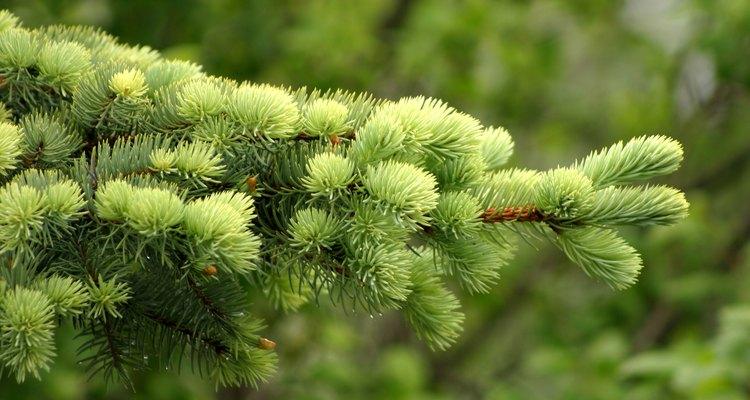 Las plantas perennes tienen estructuras reproductivas como bulbos, tubérculos, coronas leñosas y rizomas.