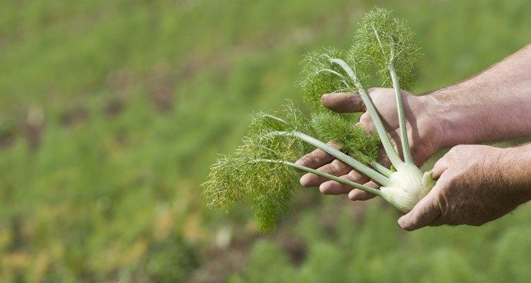 Todas las partes de la planta hinojo son comestibles.