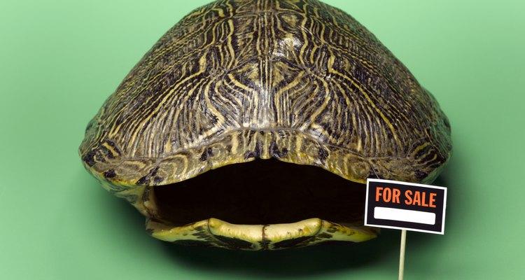 O casco de uma tartaruga morta pode ser uma peça ornamental interessante