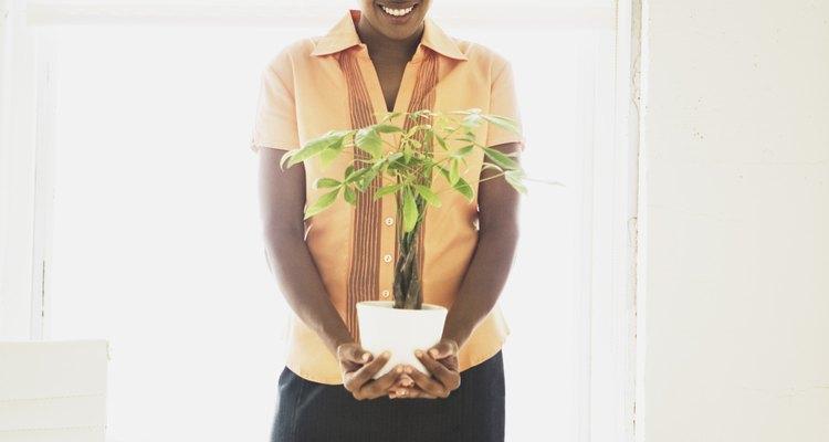 El ficus es una planta de interior fácil de cultivar.