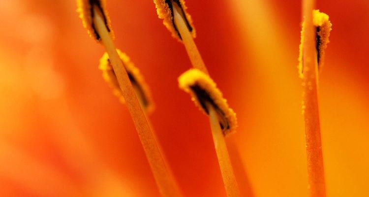 Las anteras desarrollan y distribuyen el polen.