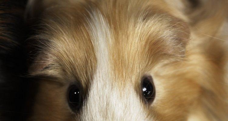 Embora os porquinhos-da-índia sejam mais propensos a pegar ácaros e piolhos, eles também podem pegar pulgas