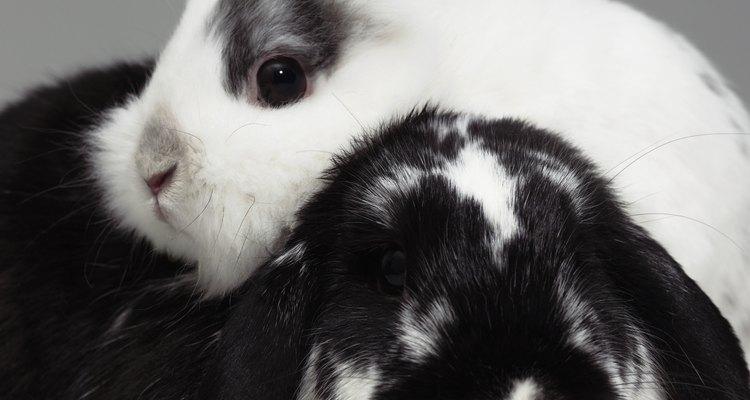 As coelhinhas se darão muito melhor se forem irmãs do que se forem estranhas