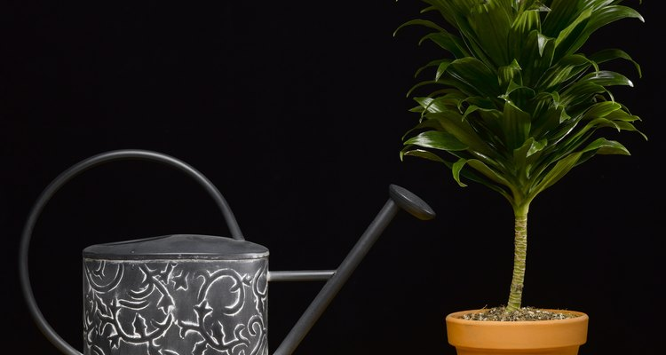 Cultivar aguacates en una maceta