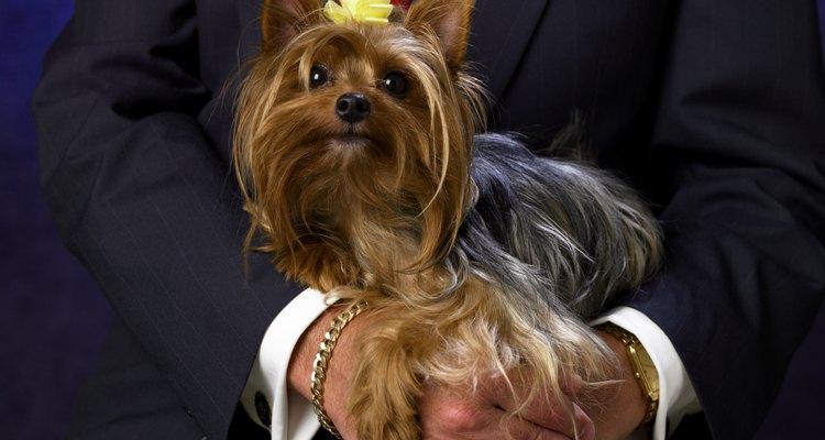 Fazer penteados na franja do cachorro é uma escolha do dono