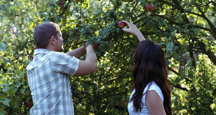 La mayoría de las manzanas son recogidas a mano, lo que es más fácil con las plantas más cortas.