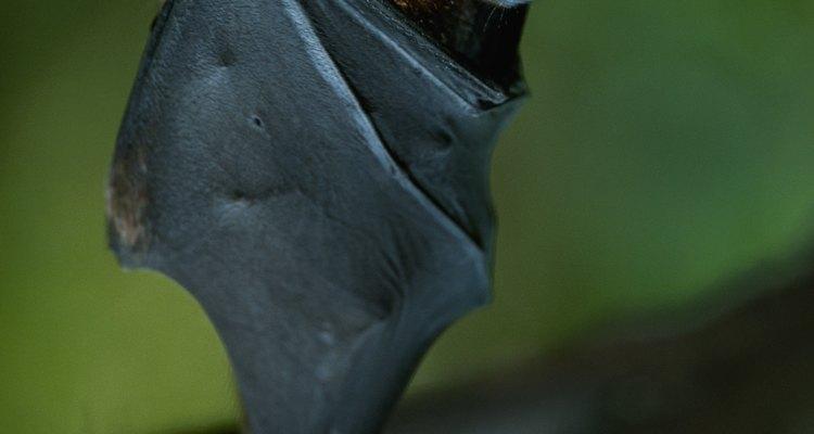 ¿Hay murciélagos en tu casa?