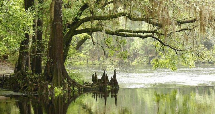 El ciprés reflejado en el agua del pantano.