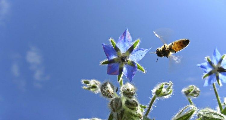 Abelha coletando o néctar das flores