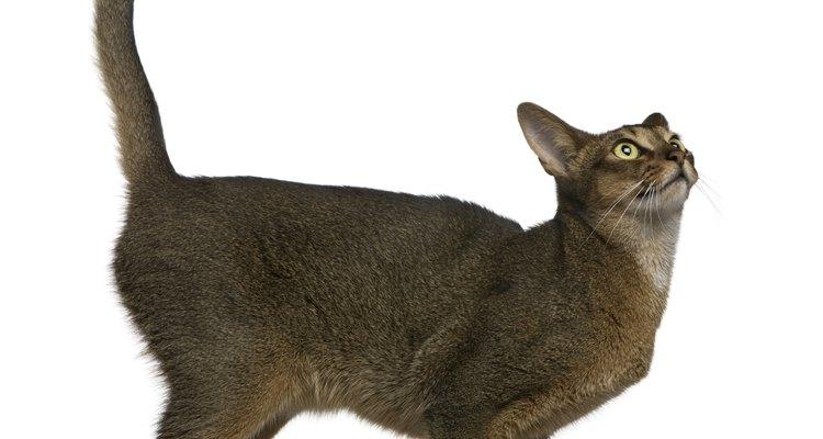 A urina felina possui feromônios que dão a ela um forte cheiro semelhante ao da amônia