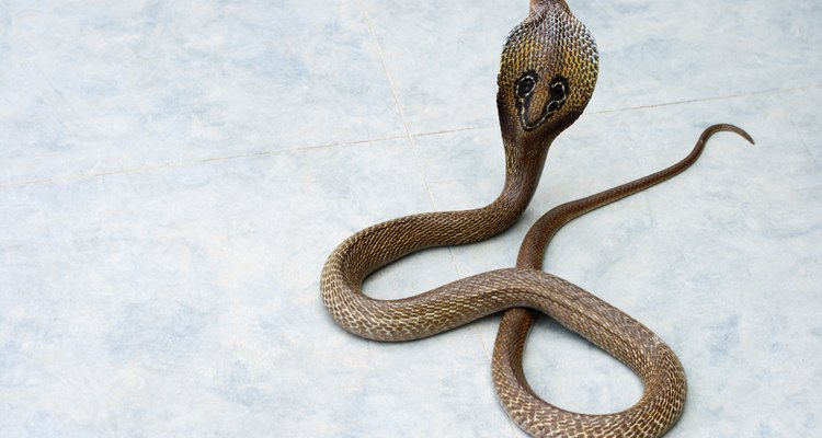 La cobra real es la más grande de las serpientes venenosas terrestres.