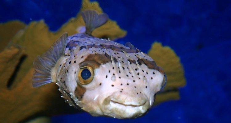Los peces globo varían en tamaño.