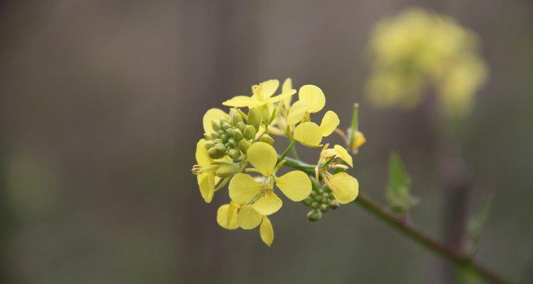 Macro Canola Flower
