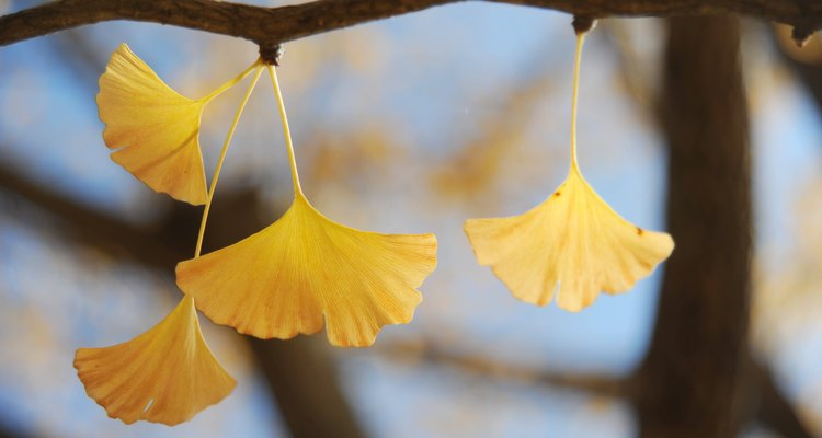 Yellow Ginkyo leaves in Autumn