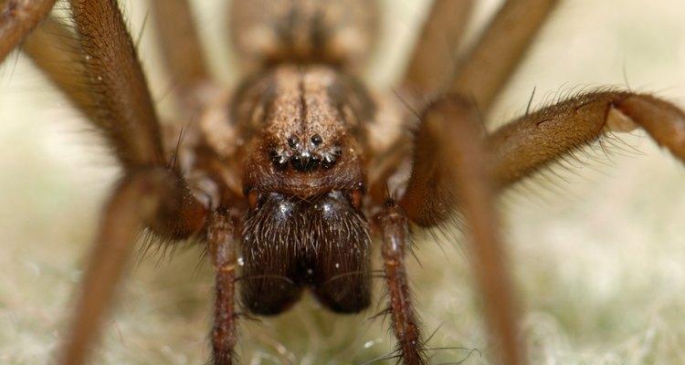 Detalhes da aranha marrom