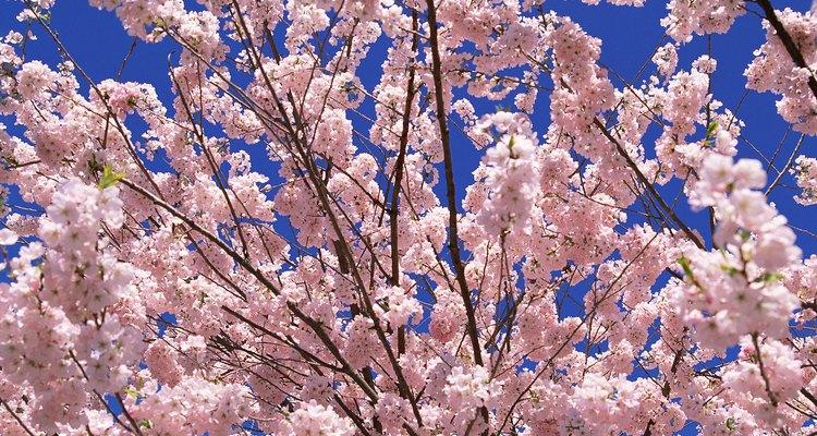 La gran mayoría de los árboles frutales que los viveros cultivan son injertos, no aquellos que crecen de semilla.