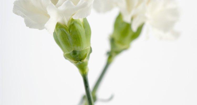 Los claveles blancos funcionan mejor ya que el colorante de alimentos se destaca.