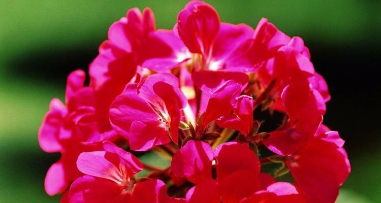 Los geranios son plantas de jardín o para macetas.