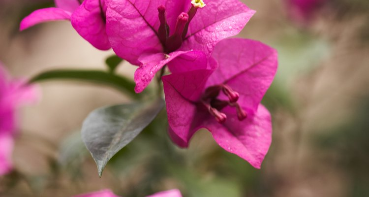 Muitas buganvílias produzem vívidas flores