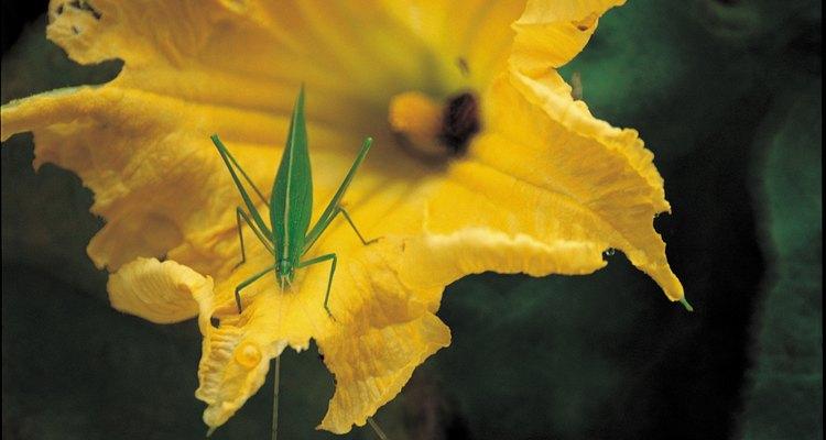 Las flores de las plantas en el género cucurbita son en forma de trompeta y generalmente de color amarillo.