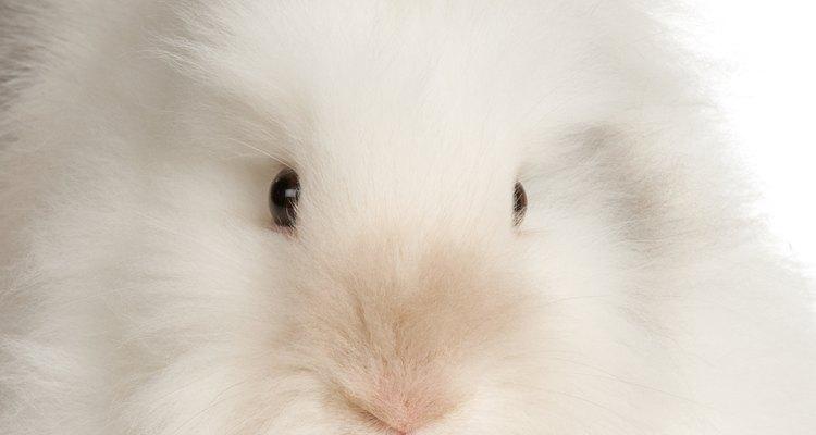 Os coelhos maiores com bastante pelo tendem a ter mais detritos e emaranhados