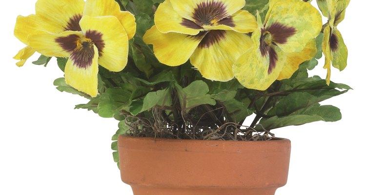 Las plantas deberían estar generalmente en una maceta con un diámetro que sea de un tercio a una mitad de la altura de la planta.