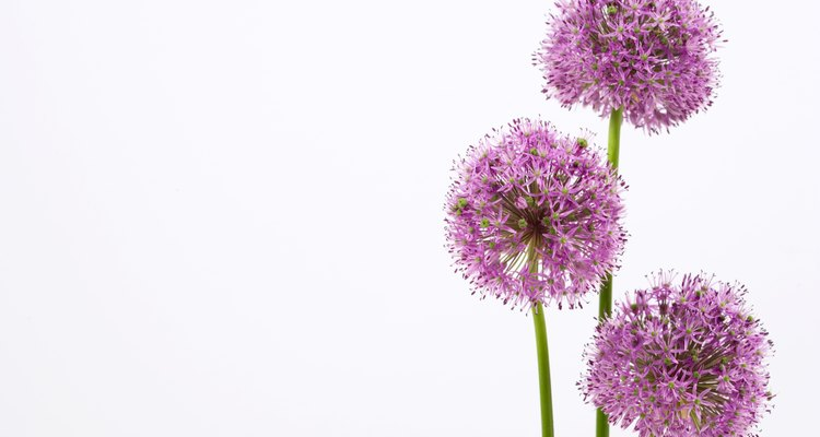 Alliums.