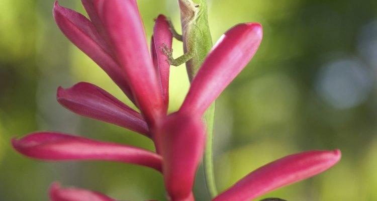 As lagartixas gostam de muitas no seu meio ambiente