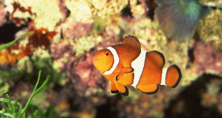 O peixe-palhaço é um habitante típico dos recifes de corais
