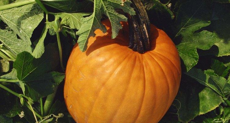 Las calabazas maduras pueden durar por varias semanas en su planta.