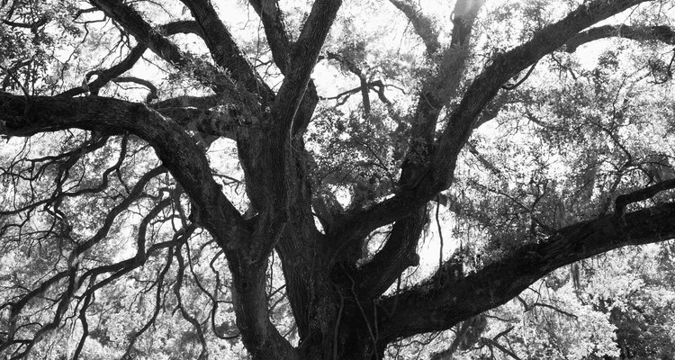 El árbol de la vida funciona como un símbolo de la vitalidad de la ley y tradición judía.