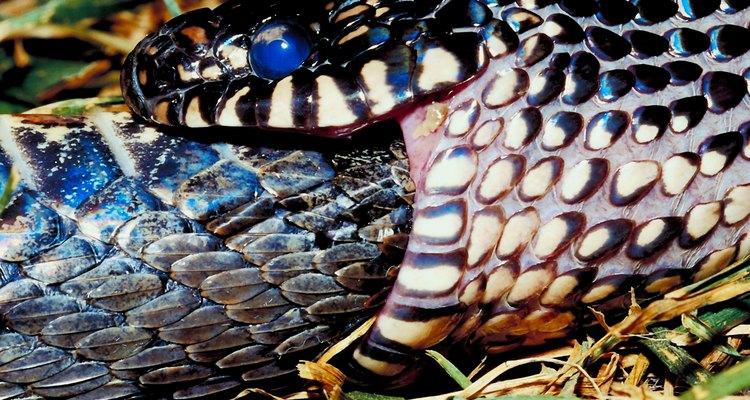 La serpiente rey común es amarilla y negra.