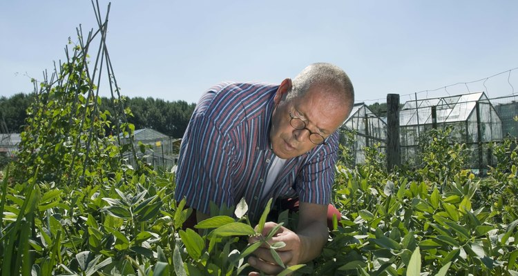 Revisa las plantas semanalmente para asegurarte de que no más cochinillas tienen las plantas infestadas.