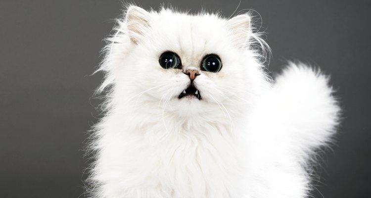 Todos os albinos são brancos, mas nem todos gatos brancos são albinos. Saiba reconhecer