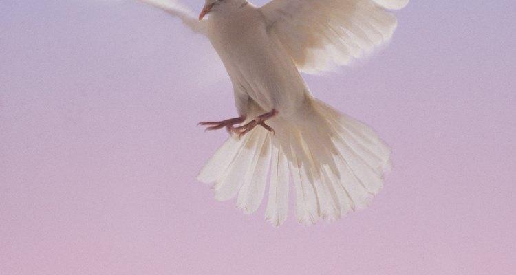Las palomas colipavas son una variedad lujosa, pero fácil de alimentar y cuidar.