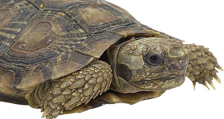 Las tortugas de agua dulce viven en aguas de baja salinidad.
